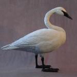 Trumpeter Swan Standing